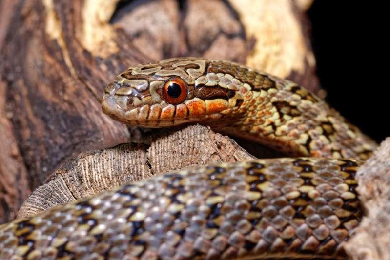 Rat snake in America