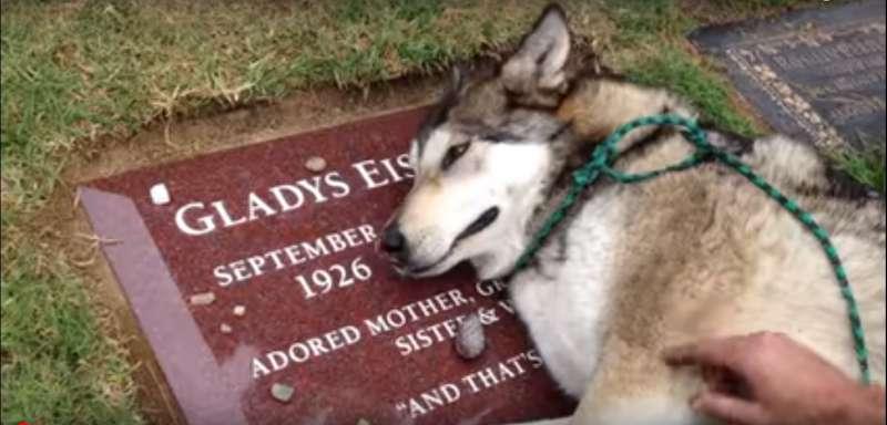 """""""Acho que caiu um cisco""""! Vídeo emocionante mostra cachorro chorando em túmulo de sua dona"""