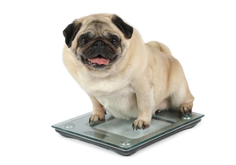 Cachorro de rua que virou piada por causa de obesidade, passa por tratamento e surge irreconhecível!