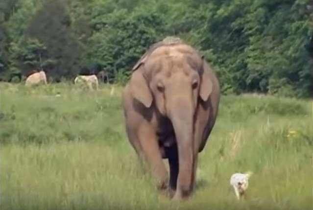L'amitié à l'état pur : un éléphant rend chaque jour visite à son amie chienne puis porte son deuil