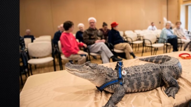 Friendly Razor-Sharp-Toothed Alligator Offers Emotional Support To Older People In Senior HomeFriendly Razor-Sharp-Toothed Alligator Offers Emotional Support To Older People In Senior HomeFriendly Razor-Sharp-Toothed Alligator Offers Emotional Support To Older People In Senior HomeFriendly Razor-Sharp-Toothed Alligator Offers Emotional Support To Older People In Senior HomeFriendly Razor-Sharp-Toothed Alligator Offers Emotional Support To Older People In Senior HomeFriendly Razor-Sharp-Toothed Alligator Offers Emotional Support To Older People In Senior Home