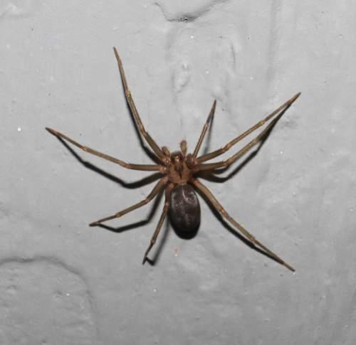 En silencio y con pausado andar, una araña venenosa puede venir a casa: hay que reconocerla