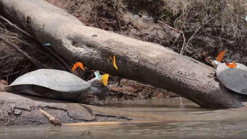 Descubrieron que la mariposas de las selva peruana se pasan de listas y explotan a las tortugasDescubrieron que la mariposas de las selva peruana se pasan de listas y explotan a las tortugasgwef