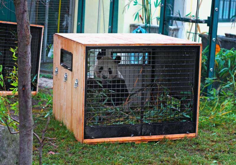 Современный зоопарк: обратная сторона жизни животных, которую посетителям не показываютPanda in cage