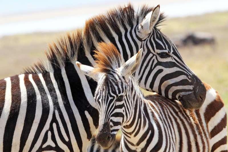 Was für ein starker mütterlicher Instinkt - Männer retteten hilfloses, neugeborenes Zebra und die Reaktion der Mutter ist unbezahlbar