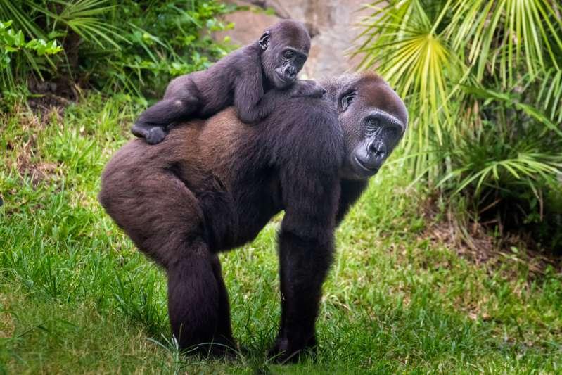 Bimbo di 3 anni cade nella gabbia: il gorilla si lancia per afferrarlo