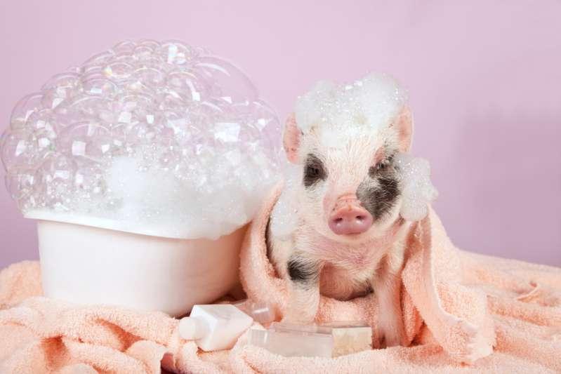 Armes Schwein wird in einem Aquarium gehalten und von seinem Besitzer ausgehungert, um seine Mini-Größe zu bewahren