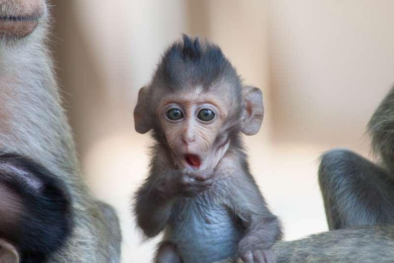 Illusionist trickst einen Schimpansen, der köstlich überrascht ist, mit seinem iPad aus