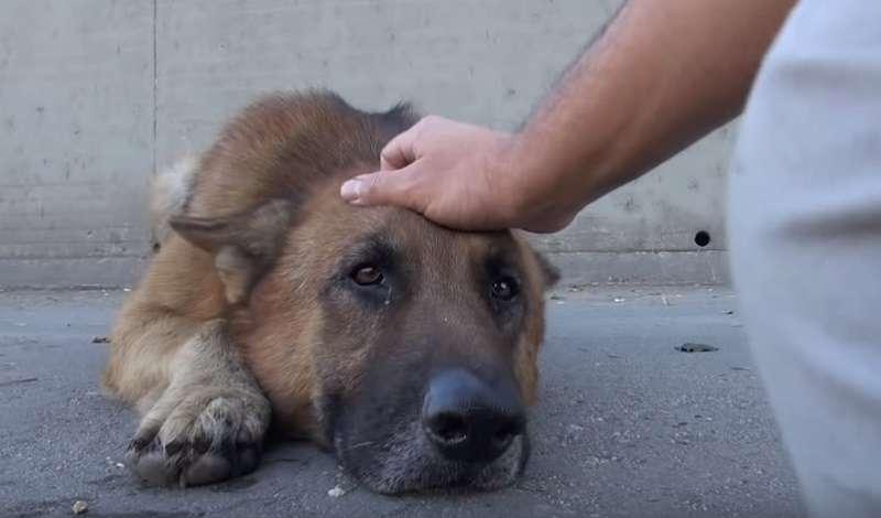 Salvaron a un pastor alemán abandonado: su gratitud derrite hasta a los corazones de hielo (Video)
