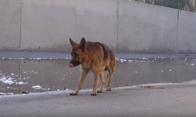 Смелый мужчина спас брошенную овчарку. Реакция благодарного пса растрогала пользователей YouTube!