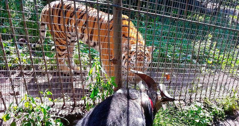 Un tigre de Sibérie et une charmante chèvre, destinée à être mangée par ce premier, sont devenus copains