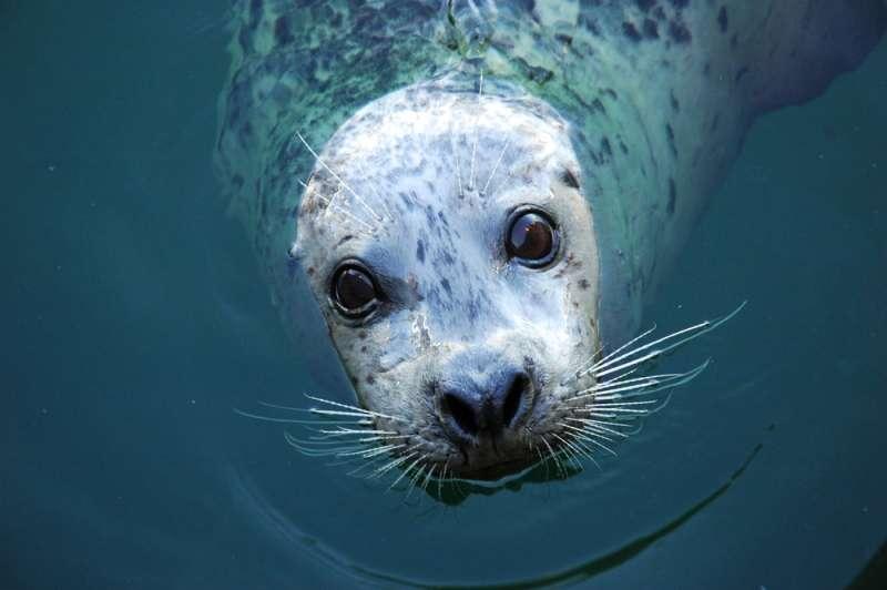 Seehundbaby Springt Auf Ein Tour Boot Um Sein Leben Zu Retten