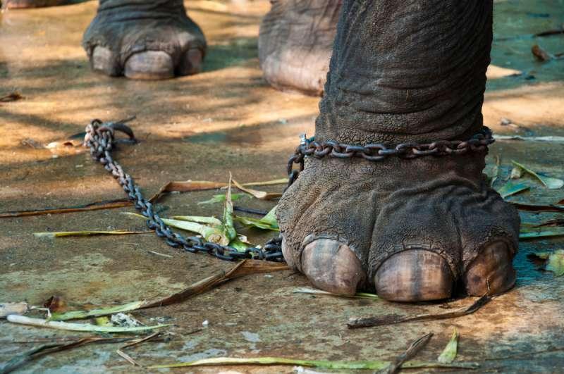 Ein dünn aussehendes Elefantenbaby wurde gezwungen, sich den Kopf im Takt der Musik anzuhauen