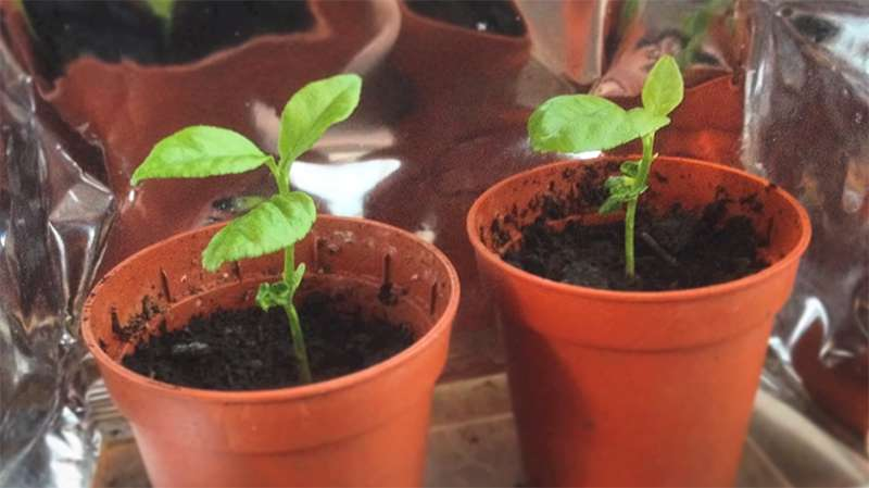 Give Your Home A Fresh Touch: You Can Grow A Lemon Tree With Only One Seed!лимон из косточки