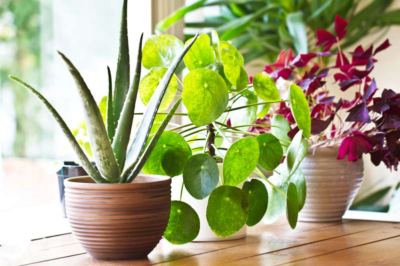 4 plantas caseras que podrían hacerle mucho bien al hogar: son muy beneficiosas para la salud