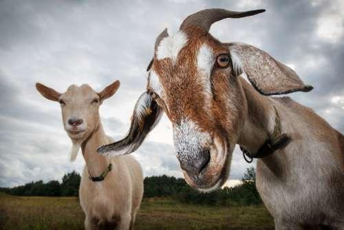 Un feroz tigre y una cabra, destinada a ser su cena, se terminaron convirtiendo en mejores amigosgoat